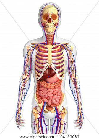 Male Skeletal, Digestive And Circulatory System