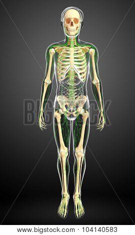 Lymphatic System Of Human Skeleton Artwork