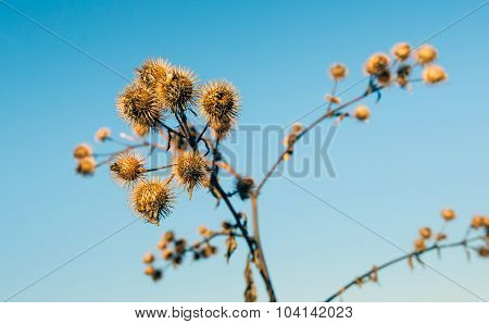 Prickly Brown Seed Heads Of Lesser Burdock