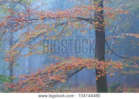 Colorful Beech Tree In Autumn Forest
