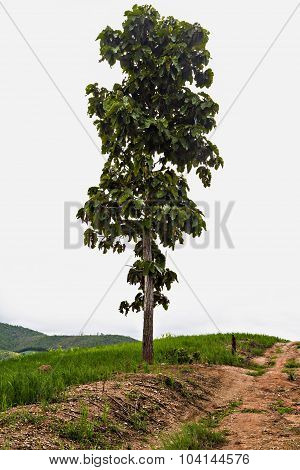 Big Tree On Top Of Mountain Isolated On White Background