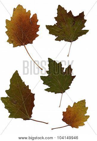 Set Of Autumn Leaves Isolated On White Background