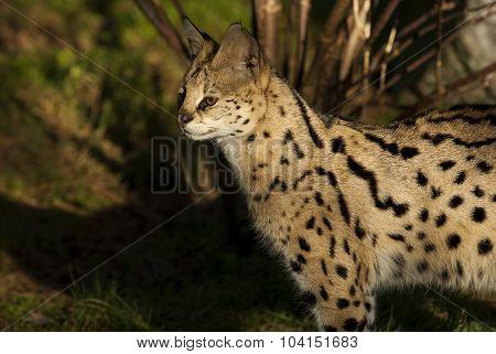 Serval  (leptailurus Serval Or Felis Serval)