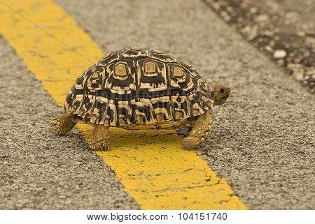 Leopard Turtoise (geochelone Pardalis)