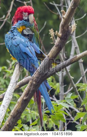 A pair of Macaws at the local zoo preening each other.