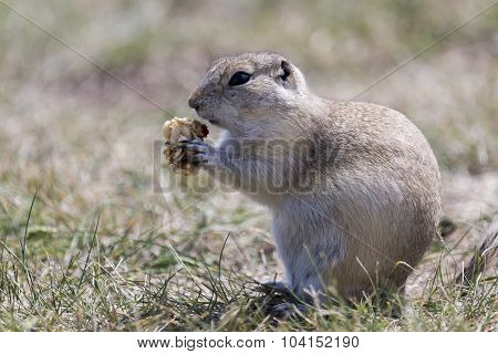 Prairie Golpher