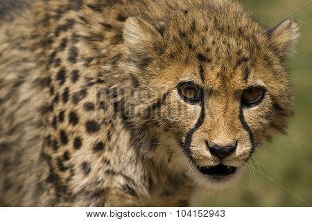 Cheetah (acinonyx Jubatus Jubatus)