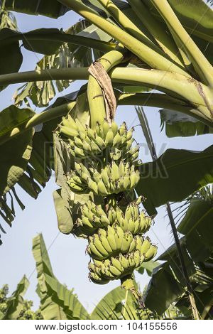 Large Crude Banana