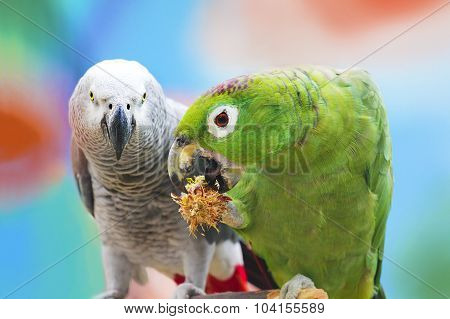 Parrots .