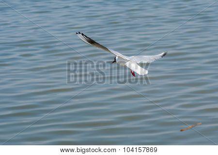 Black-headed gull making trial flight over Dnepr river