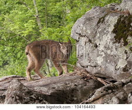 Lynx on Big Rocks