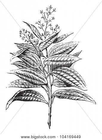 Ceylon cinnamon, flowers and leaves, vintage engraved illustration. Industrial encyclopedia E.-O. Lami - 1875.
