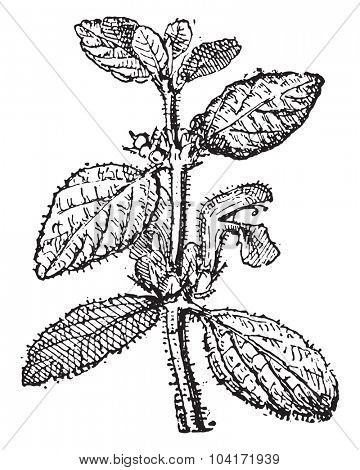 Motherwort, vintage engraved illustration. Dictionary of words and things - Larive and Fleury - 1895.