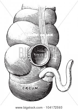 Diagram illustrating the union of the small intestines with the large, vintage engraved illustration.