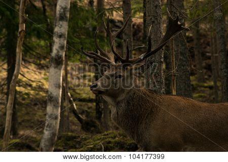 Great deer in the woods