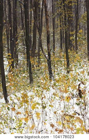 Autumn Forest Covered With Snow