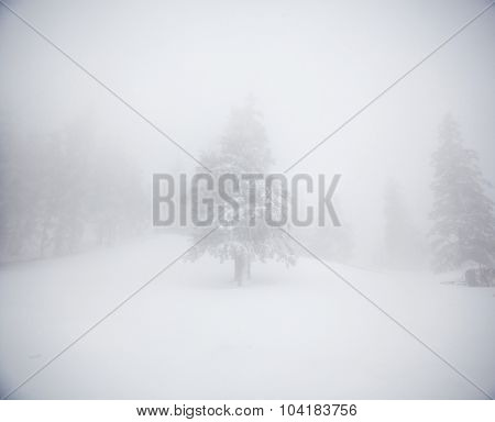 Winter landscape with fir trees in fog