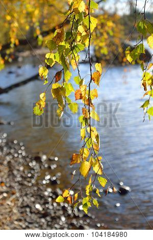 The Branch Of A Birch Tree At Autumn Day.