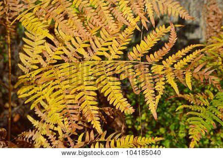 Fern Leaves In Autumn Forest.