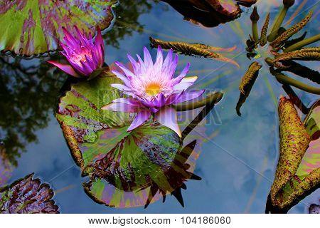 Lily Pad Lotus Flower