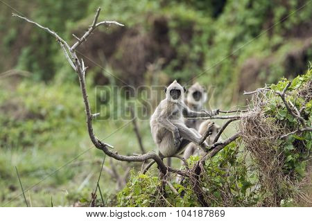 Tufted Gray Langur In Bundala National Park, Sri Lanka