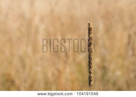 Stalk of hay against field