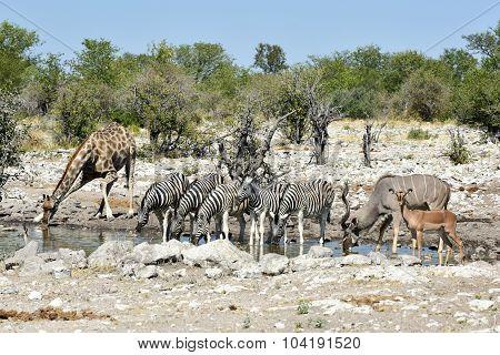 Zebras, Giraffes - Etosha, Namibia