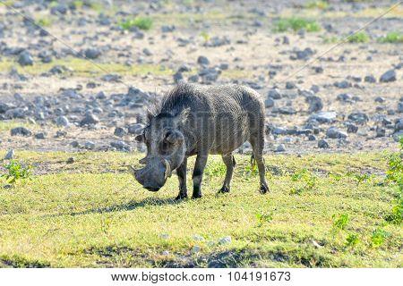 Warthog - Etosha, Namibia