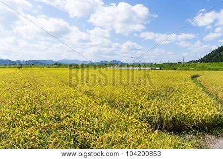 Golden rice field in Thailand