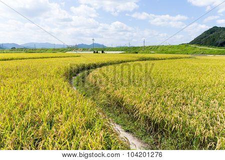 Path at paddy field