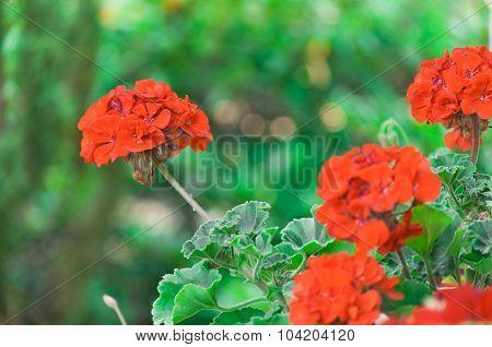 Beautiful Red Pelargonium Flowers