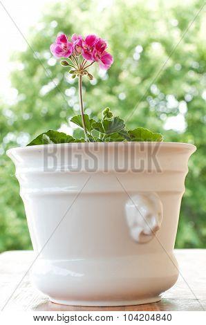 Beautiful Pink Pelargonium Flowers