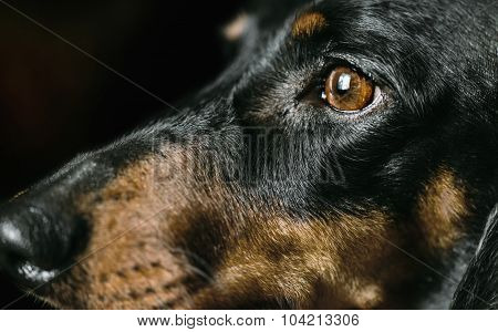 Snout Of Dachshund Dog