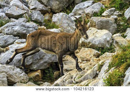 Female wild alpine, capra ibex, or steinbock
