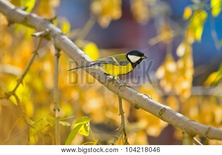Great Titmouse On A Branch At Autumn