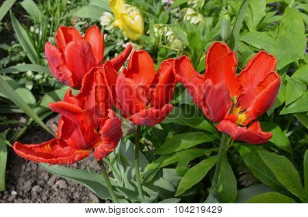 Red blooming parrot tulip