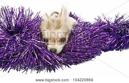 chihuahua puppy with shiny tinsel