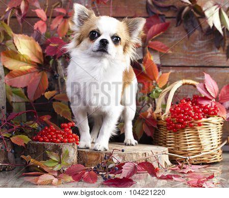 Chihuahua hua