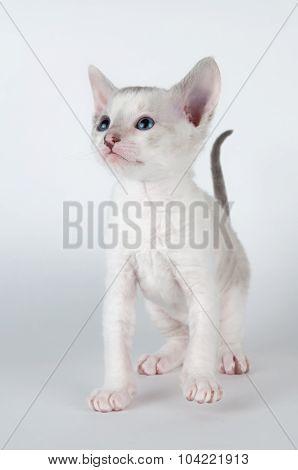 Cute Little Cornish Rex Kitten