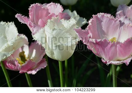 Fringed pink and white tulips