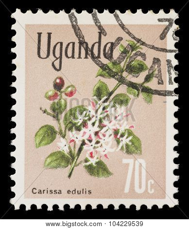 Postage Stamp Printed In Uganda Showing A Simple-spined Num-num, Carissa Edulis,