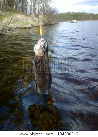 Grayling Fishing Northern Fish