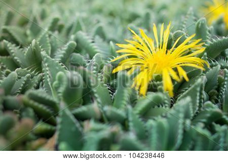 Faucaria Tuberculosa - Yellow Flower Pebbled Tiger Jaws Cactus