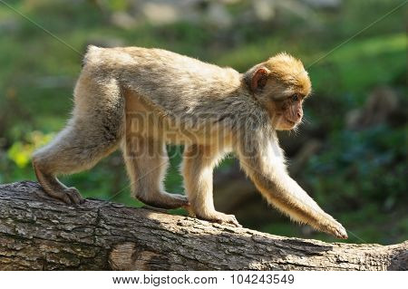 Young Barbary Macaques Goes On A Tree Trunk