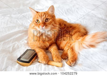 Ginger Cat Lies On Bed With Grooming Comb. The Fluffy Pet Comfortably Settled On White Sheet.