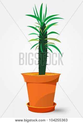 Pachypodium cactus in pot