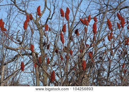 Sumac, Staghorn (Rhus typhina) Winter