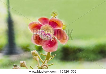 Flower Cannonball Tree In Garden Of Thailand