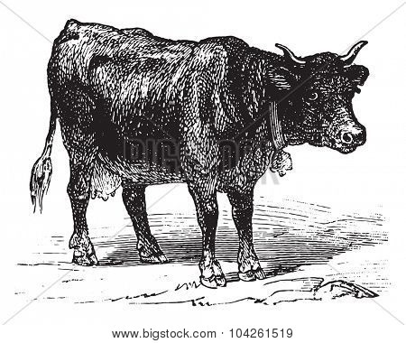 Cow, vintage engraved illustration. La Vie dans la nature, 1890.
