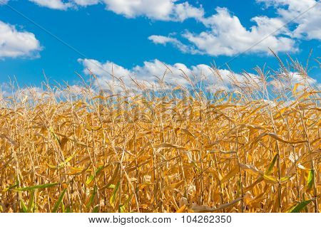 Field with maize close-up against blue cloudy sky